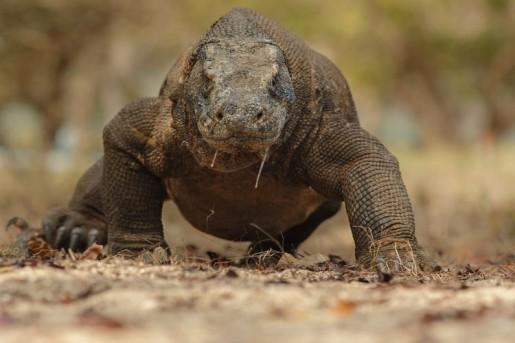 Star Radio - Alasan Komodo Masuk Daftar Hewan Terancam Punah